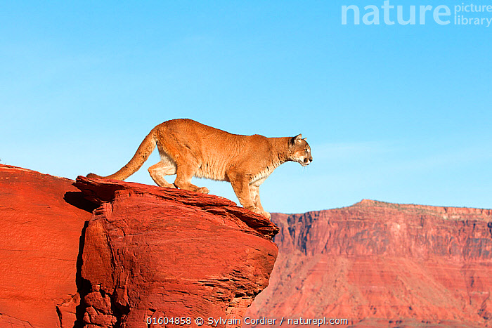 Nature Picture Library Mountain lion (Puma concolor