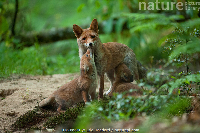 Red fox (Vulpes vulpes) mother with cubs, one suckling, forest, France. May.  ,  Animal,Wildlife,Vertebrate,Mammal,Carnivore,Canid,True fox,Red fox,Animalia,Animal,Wildlife,Vertebrate,Mammalia,Mammal,Carnivora,Carnivore,Canidae,Canid,Vulpes,True fox,Vulpini,Caninae,Vulpes vulpes,Red fox,Europe,Western Europe,France,Young Animal,Baby,Baby Mammal,Cub,Female animal,Vixen,Vixens,Family,Mother baby,Mother,Parent baby,  ,  Eric  Medard
