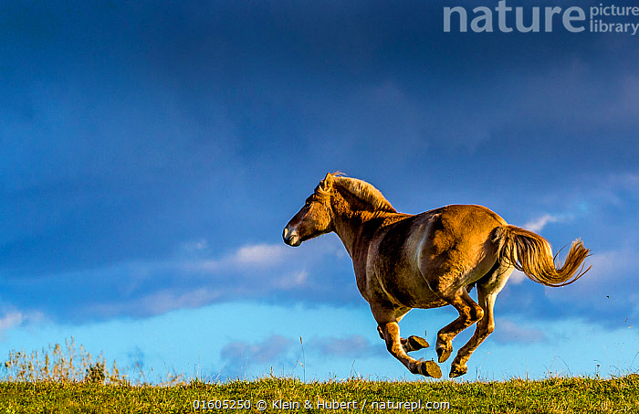 Fjord or Norwegian fjord horse galloping in grass meadow in fall, France, Equus ferus caballus,Equus caballus,Galloping,Gallop,Gallops,Running,Europe,Western Europe,France,Animal,Sky,Cloud,Domestic animal,Domestic Horse,Fjord horse,Domesticated,Equus ferus caballus,Equus caballus,Horse,Moving,Mammal,Movement,, Klein & Hubert