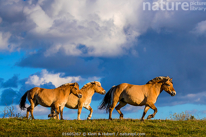 Fjord or Norwegian fjord horses trotting in grass meadow in fall, France, Equus ferus caballus,Equus caballus,Walking,Trotting,Few,Three,Group,Europe,Western Europe,France,Animal,Sky,Cloud,Domestic animal,Domestic Horse,Fjord horse,Domesticated,Equus ferus caballus,Equus caballus,Horse,Moving,Mammal,Movement,, Klein & Hubert