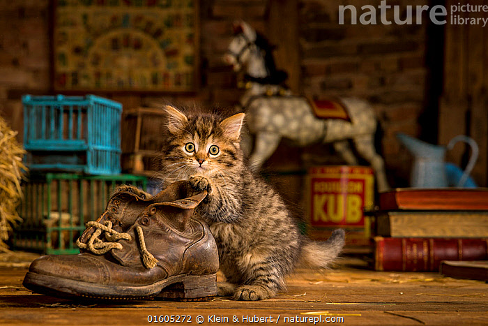 Tabby semi-longhaired kitten (European x Maine Coon) playing with old shoe in attic, Cute,Adorable,Animal,Young Animal,Baby,Baby Mammal,Kitten,Kittens,Building,Attic,Indoors,Exploration,Direct Gaze,, Klein & Hubert
