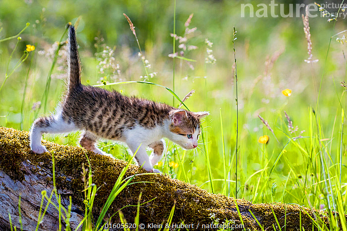 Tabby and white kitten, standing on a mossy tree trunk in a meadow in summer.  ,  Felis catus,Walking,Cute,Adorable,Animal,Young Animal,Baby,Baby Mammal,Kitten,Kittens,Outdoors,Summer,Exploration,Grassland,Meadow,Domestic animal,Pet,Domestic Cat,Domesticated,Felis catus,Cat,Tabby,Moving,Movement,  ,  Klein & Hubert