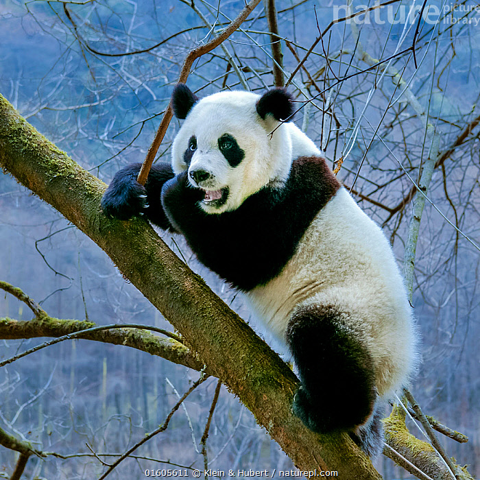 Giant panda (Ailuropoda melanoleuca) subadult climbing in a tree, Sichuan Province, China. Captive, Animal,Wildlife,Vertebrate,Mammal,Carnivore,Bear,Giant panda,Animalia,Animal,Wildlife,Vertebrate,Mammalia,Mammal,Carnivora,Carnivore,Ursidae,Bear,Ailuropoda,Ailuropoda melanoleuca,Giant panda,Asia,East Asia,China,Young Animal,Juveniles,Plant,Tree,Sichuan Province,Sichuan,Endangered species,threatened,Endangered, Klein & Hubert