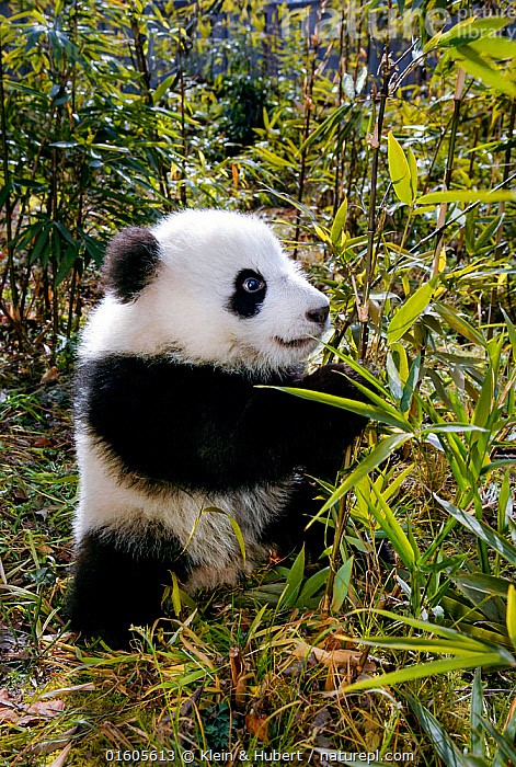 Giant panda (Ailuropoda melanoleuca) aged 5 months, Sichuan Province, China. Captive., Animal,Wildlife,Vertebrate,Mammal,Carnivore,Bear,Giant panda,Animalia,Animal,Wildlife,Vertebrate,Mammalia,Mammal,Carnivora,Carnivore,Ursidae,Bear,Ailuropoda,Ailuropoda melanoleuca,Giant panda,Asia,East Asia,China,Young Animal,Baby,Bamboo,Bamboos,Feeding,Sichuan Province,Sichuan,Endangered species,threatened,Endangered, Klein & Hubert