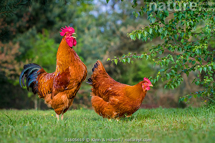 Nature Picture Library - New Hampshire chicken rooster and hen