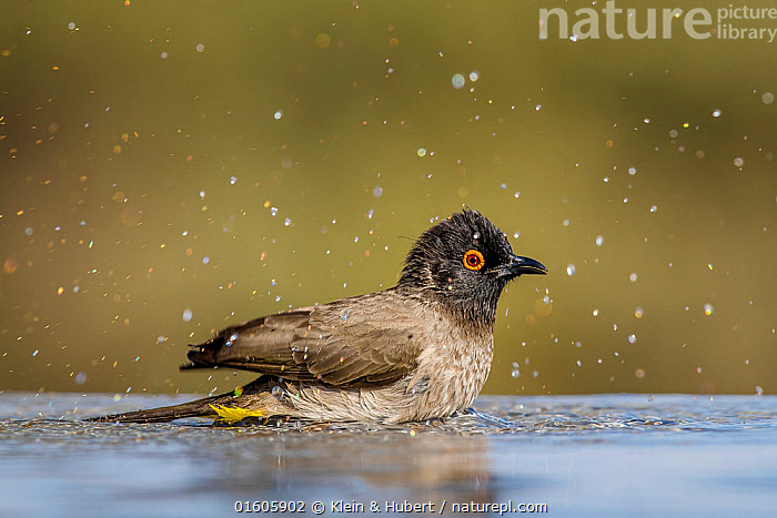 African red-eyed bulbul (Pycnonotus nigricans) bathing at waterhole. Kalahari Desert, South Africa  ,  Animal,Wildlife,Vertebrate,Bird,Birds,Songbird,Bulbul,African red eyed bulbul,Animalia,Animal,Wildlife,Vertebrate,Aves,Bird,Birds,Passeriformes,Songbird,Passerine,Pycnonotidae,Bulbul,Pycnonotus,Pycnonotus nigricans,African red eyed bulbul,Red eyed bulbul,Black fronted bulbul,Bathing,Africa,Southern Africa,South Africa,Profile,Side View,Desert,Kalahari Desert,Animal Behaviour,Behaviour,Bathes,South African,Behavioural,  ,  Klein & Hubert