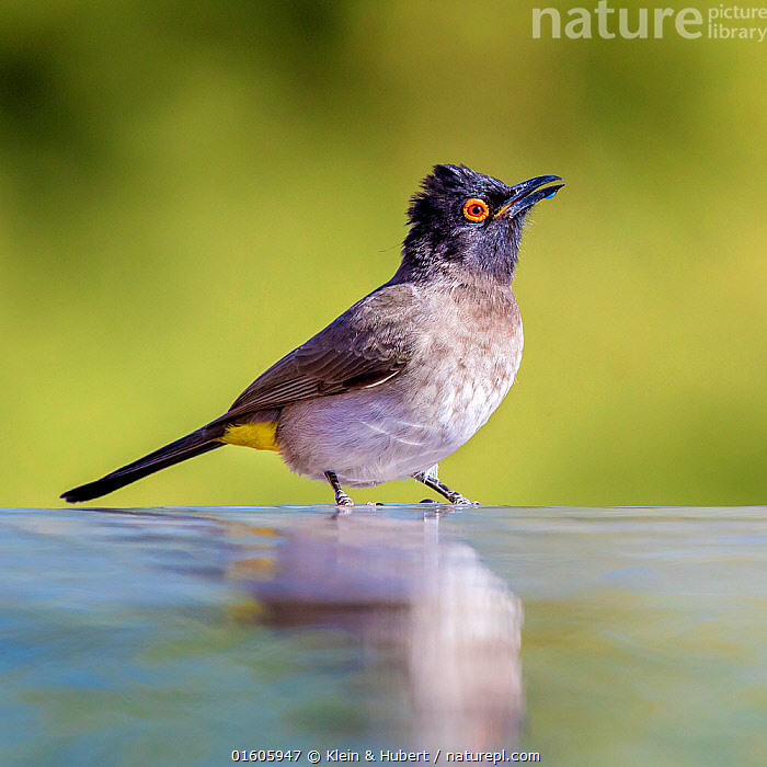 African red-eyed bulbul (Pycnonotus nigricans)  drinking at waterhole, Kalahari, South Africa.  ,  Animal,Wildlife,Vertebrate,Bird,Birds,Songbird,Bulbul,African red eyed bulbul,Animalia,Animal,Wildlife,Vertebrate,Aves,Bird,Birds,Passeriformes,Songbird,Passerine,Pycnonotidae,Bulbul,Pycnonotus,Pycnonotus nigricans,African red eyed bulbul,Red eyed bulbul,Black fronted bulbul,Africa,Southern Africa,South Africa,Profile,Side View,Portrait,Desert,Kalahari Desert,Water Hole,Water Holes,Freshwater,Water,Drinking,South African,  ,  Klein & Hubert