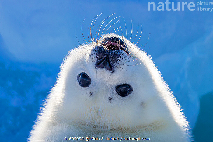 Harp seal (Pagophilus groenlandicus) pup looking up to see behind it,  Gulf of St. Lawrence, Canada, Animal,Wildlife,Vertebrate,Mammal,Carnivore,True seal,Greenland Seal,Animalia,Animal,Wildlife,Vertebrate,Mammalia,Mammal,Carnivora,Carnivore,Phocidae,True seal,Pinnipeds,pinnipedia,Pagophilus,Pagophilus groenlandicus,Greenland Seal,Harp Seal,Phoca groenlandicus,Phoca oceanica,Phoca semilunaris,Cute,Adorable,Happiness,Colour,White,Fluffy,Temperature,Cold,North America,Canada,Arctic,Polar,Portrait,Ice,Ocean,Arctic Ocean,Marine,Water,Saltwater,Direct Gaze,Marine,,Baby,Babies,, Klein & Hubert