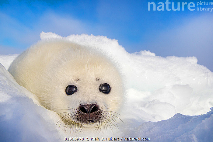 Harp seal (Pagophilus groenlandicus) pup on ice, Gulf of St. Lawrence, Canada, Animal,Wildlife,Vertebrate,Mammal,Carnivore,True seal,Greenland Seal,Animalia,Animal,Wildlife,Vertebrate,Mammalia,Mammal,Carnivora,Carnivore,Phocidae,True seal,Pinnipeds,pinnipedia,Pagophilus,Pagophilus groenlandicus,Greenland Seal,Harp Seal,Phoca groenlandicus,Phoca oceanica,Phoca semilunaris,Cute,Adorable,Colour,White,Fluffy,Temperature,Cold,North America,Canada,Arctic,Polar,Portrait,Ice,Ocean,Arctic Ocean,Marine,Water,Saltwater,Direct Gaze,Marine,,Baby,Babies,, Klein & Hubert