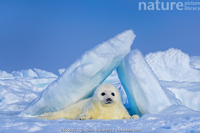 Harp seal (Pagophilus groenlandicus) pup on ice, Gulf of St. Lawrence, Canada, Animal,Wildlife,Vertebrate,Mammal,Carnivore,True seal,Greenland Seal,Animalia,Animal,Wildlife,Vertebrate,Mammalia,Mammal,Carnivora,Carnivore,Phocidae,True seal,Pinnipeds,pinnipedia,Pagophilus,Pagophilus groenlandicus,Greenland Seal,Harp Seal,Phoca groenlandicus,Phoca oceanica,Phoca semilunaris,Cute,Adorable,Colour,White,Fluffy,Temperature,Cold,North America,Canada,Arctic,Polar,Ice,Ocean,Arctic Ocean,Marine,Water,Saltwater,Direct Gaze,Marine,,Baby,Babies,, Klein & Hubert