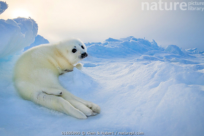 Harp seal (Pagophilus groenlandicus) pup on ice, Gulf of St. Lawrence, Canada, Animal,Wildlife,Vertebrate,Mammal,Carnivore,True seal,Greenland Seal,Animalia,Animal,Wildlife,Vertebrate,Mammalia,Mammal,Carnivora,Carnivore,Phocidae,True seal,Pinnipeds,pinnipedia,Pagophilus,Pagophilus groenlandicus,Greenland Seal,Harp Seal,Phoca groenlandicus,Phoca oceanica,Phoca semilunaris,Cute,Adorable,Colour,White,Fluffy,Temperature,Cold,North America,Canada,Arctic,Polar,Ice,Ocean,Arctic Ocean,Marine,Water,Saltwater,Marine,,Baby,Babies,, Klein & Hubert