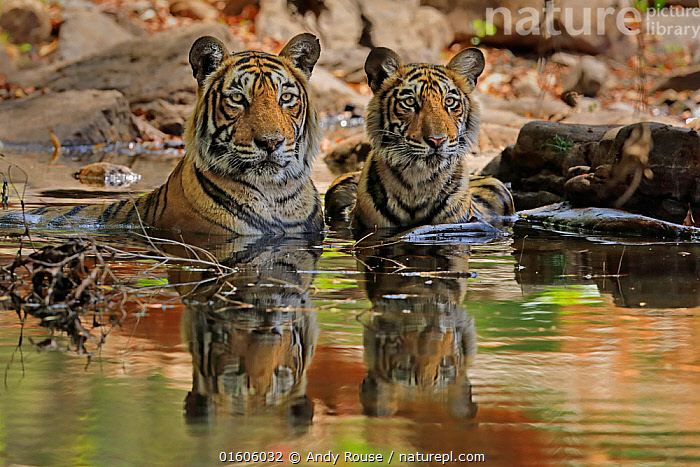Bengal tiger (Panthera tigris) female 'T19 Krishna' with juvenile in water, Ranthambhore, India, Animal,Wildlife,Vertebrate,Mammal,Carnivore,Cat,Big cat,Tiger,Animalia,Animal,Wildlife,Vertebrate,Mammalia,Mammal,Carnivora,Carnivore,Felidae,Cat,Panthera,Big cat,Panthera tigris,Tiger,Felis tigris,Tigris striatus,Tigris regalis,Cooling Down,Asia,Indian Subcontinent,India,Young Animal,Juveniles,Animal Behaviour,Thermoregulation,Reserve,Behaviour,Protected area,National Park,Rajasthan,Ranthambore National Park,Behavioural,Endangered species,threatened,Endangered, Andy Rouse