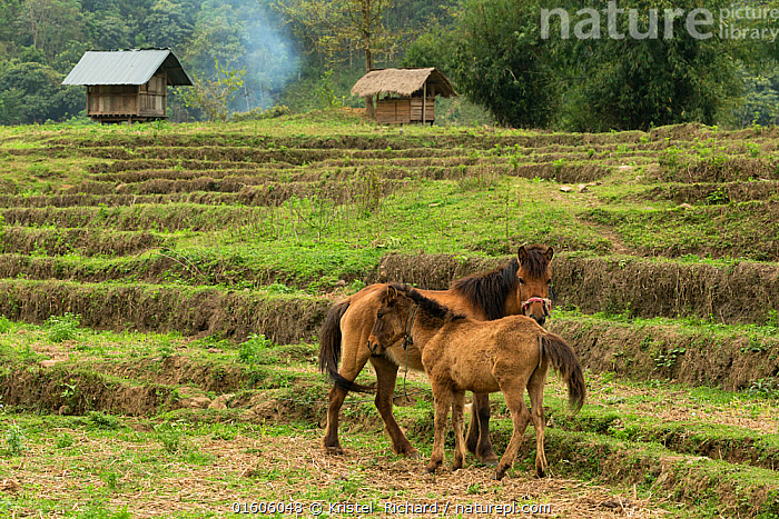 Rare domestic Hmong horses, colt and mares standing alert in dry rice field, Xieng Khuang, Laos.  ,  Equus ferus caballus,Equus caballus,Asia,South East Asia,Laos,Lao People&#39,s Democratic Republic,Animal,Young Animal,Baby,Baby Mammal,Foal,Foals,Colts,Male Animal,Agricultural Land,Cultivated Land,Field,Rice Field,Rice Paddies,Domestic animal,Domestic Horse,Family,Mother baby,Mother,Farmland,Domesticated,Equus ferus caballus,Equus caballus,Horse,Parent baby,Mammal,Hmong horse,  ,  Kristel  Richard