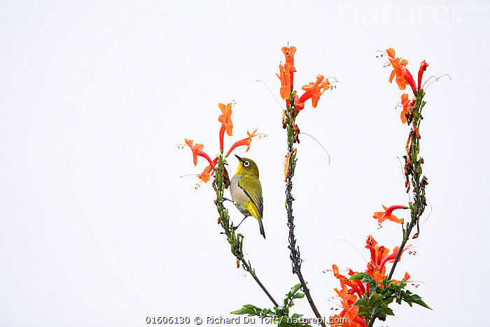 Cape white-eye (Zosterops capensis) perched on Cape honeysuckle (Tecoma capensis) Garden Route National Park, Western Cape Province, South Africa.  ,  Plant,Vascular plant,Flowering plant,Asterid,Bignonia,Trumpetbush,Cape honeysuckle,Plantae,Plant,Tracheophyta,Vascular plant,Magnoliopsida,Flowering plant,Angiosperm,Seed plant,Spermatophyte,Spermatophytina,Angiospermae,Lamiales,Asterid,Dicot,Dicotyledon,Asteranae,Bignoniaceae,Bignonia,Tecoma,Trumpetbush,Trumpet bush,Tecoma capensis,Cape honeysuckle,Tecomaria capensis,Bignonia capensis,Tecomaria petersii,Colour,Orange,Africa,Southern Africa,South Africa,Flower,South African,  ,  Richard Du Toit
