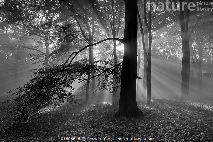 Beech woodland (Fagus sylvatica) with sun rays shining through, black and white image.  Peerdsbos, Brasschaat, Belgium  ,  Angiosperm,Angiospermae,Atmospheric Mood,Beech,Beech tree,Belgium,Castanea fagus,Common beech,Dicot,Dicotyledon,Europe,European beech tree,Fagaceae,Fagales,Fagus,Fagus asplenifolia,Fagus cristata,Fagus sylvatica,Flowering plant,Forest,Light Ray,Magnoliopsida,Natural Light,Plant,plant plant,Plantae,Protected area,Reserve,Rosanae,Rosid,Spermatophyte,Spermatophytina,Sunlight,Tracheophyta,Tree,Trees,Vascular plant,Western Europe,Woodland  ,  Bernard Castelein