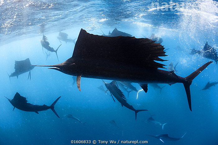 Indo-Pacific sailfish (Istiophorus platypterus) in feeding frenzy, with the remains of a previously large school of sardines (Sardina sp) in background. Isla Mujeres, Cancun, Mexico.  ,  Animal,Wildlife,Vertebrate,Ray-finned fish,Percomorphi,Marlin,Sailfish,Pacific sailfish,Sardines,Animalia,Animal,Wildlife,Vertebrate,Actinopterygii,Ray-finned fish,Osteichthyes,Bony fish,Fish,Perciformes,Percomorphi,Acanthopteri,Istiophoridae,Marlin,Istiophorus,Sailfish,Istiophorus platypterus,Pacific sailfish,Indo-Pacific sailfish,Japanese Sailfish,Peacock fish,Istiophorus dubius,Istiophorus brookei,Xiphias platypterus,Clupeiformes,Clupeidae,Sardina,Sardines,Pilcards,Group Of Animals,School,Group,Sharp,Latin America,Central America,Mexico,Profile,Side View,Fin,Fins,Dorsal Fin,Dorsal Fins,Tropical,Ocean,Atlantic Ocean,Gulf Of Mexico,Marine,Underwater,Water,Animal Behaviour,Feeding,Predation,Hunting,Mixed species,Behaviour,Saltwater,Cancun,Behavioural,Marine,, catalogue11  ,  Tony Wu