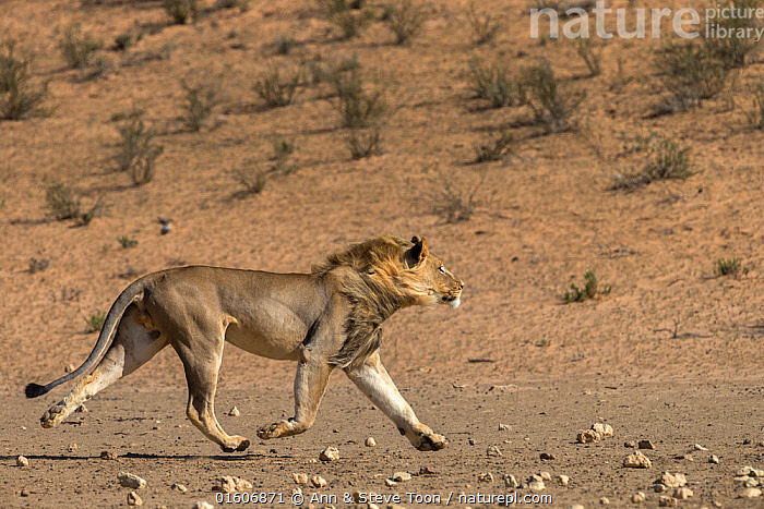 RF - Lion (Panthera leo) male running in desert, Kgalagadi Transfrontier Park, South Africa. (This image may be licensed either as rights managed or royalty free.)  ,  Animal,Wildlife,Vertebrate,Mammal,Carnivore,Cat,Big cat,Lion,Animalia,Animal,Wildlife,Vertebrate,Mammalia,Mammal,Carnivora,Carnivore,Felidae,Cat,Panthera,Big cat,Panthera leo,Running,Africa,Southern Africa,South Africa,Male Animal,Desert,Reserve,Lion,Protected area,National Park,International Parks,Kgalagadi Transfrontier Park,South African,Moving,Kgalagadi,RF,Royalty free,Movement,RF4,  ,  Ann  & Steve Toon