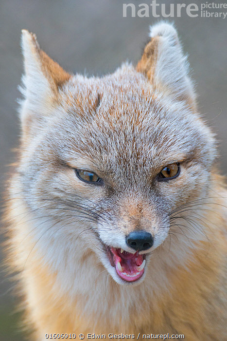 Corsac fox (Vulpes corsac) portrait. Occurs in Central Asia. Captive, Netherlands.  ,  Animal,Wildlife,Vertebrate,Mammal,Carnivore,Canid,True fox,Corsac,Animalia,Animal,Wildlife,Vertebrate,Mammalia,Mammal,Carnivora,Carnivore,Canidae,Canid,Vulpes,True fox,Vulpini,Caninae,Vulpes corsac,Corsac,Corsac Fox,Vocalisation,Craziness,Crazy,Insane,Insanity,Mad,Madness,Asia,Central Asia,Front View,Portrait,Ear,Animal Ears,Ears,Animal Eye,Eyes,Mouth,Animal Behaviour,Aggression,Behaviour,Whiskers,Direct Gaze,Behavioural,,,eye contact,  ,  Edwin Giesbers
