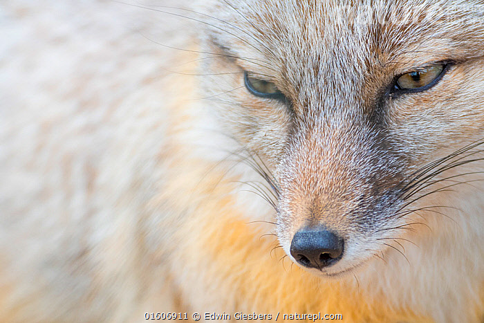 Corsac fox (Vulpes corsac) portrait. Occurs in Central Asia. Captive, Netherlands.  ,  Animal,Wildlife,Vertebrate,Mammal,Carnivore,Canid,True fox,Corsac,Animalia,Animal,Wildlife,Vertebrate,Mammalia,Mammal,Carnivora,Carnivore,Canidae,Canid,Vulpes,True fox,Vulpini,Caninae,Vulpes corsac,Corsac,Corsac Fox,Dishonesty,Asia,Central Asia,Copy Space,Full Frame,Close Up,Front View,Portrait,Animal Eye,Eyes,Animal Nose,Hair,Fur,Whiskers,Negative space,Animal Hair,Sly,  ,  Edwin Giesbers