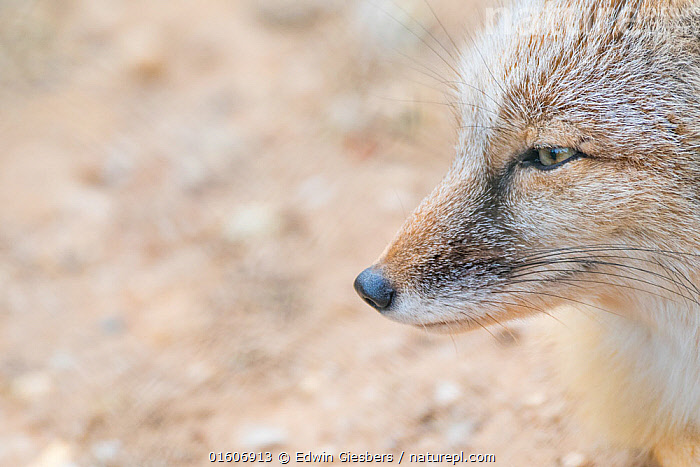 Corsac fox (Vulpes corsac). Occurs in Central Asia. Captive, Netherlands.  ,  Animal,Wildlife,Vertebrate,Mammal,Carnivore,Canid,True fox,Corsac,Animalia,Animal,Wildlife,Vertebrate,Mammalia,Mammal,Carnivora,Carnivore,Canidae,Canid,Vulpes,True fox,Vulpini,Caninae,Vulpes corsac,Corsac,Corsac Fox,Asia,Central Asia,Copy Space,Profile,Close Up,Side View,Portrait,Animal Nose,Negative space,  ,  Edwin Giesbers