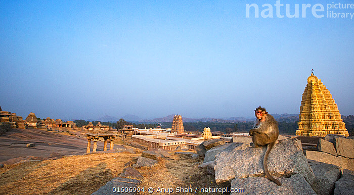 Bonnet macaque (Macaca radiata) female sitting on rocks with the Virupaksha Temple in the background . Hampi, Karnataka, India., Animal,Wildlife,Vertebrate,Mammal,Monkey,Macaque,Bonnet macaque,Animalia,Animal,Wildlife,Vertebrate,Mammalia,Mammal,Primate,Primates,Cercopithecidae,Monkey,Old World Monkeys,Macaca,Macaque,Papionini,Macaca radiata,Bonnet macaque,Macaca diluta,Asia,Indian Subcontinent,India,Building,Temple,Temples,Karnataka,, Anup Shah
