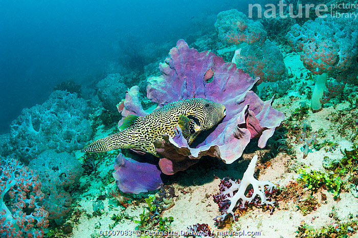 Map puffer (Arothron mappa) at rest on a sponge. West Papua, Indonesia., Animal,Wildlife,Vertebrate,Ray-finned fish,Plectognathi,Pufferfish,Fat puffer,Map pufferfish,Animalia,Animal,Wildlife,Vertebrate,Actinopterygii,Ray-finned fish,Osteichthyes,Bony fish,Fish,Tetraodontiformes,Plectognathi,Tetraodontidae,Pufferfish,Puffer,Arothron,Fat puffer,Arothron mappa,Asia,South East Asia,Indonesia,Oceania,Melanesia,New Guinea,Tropical,Ocean,Pacific Ocean,Marine,Underwater,Water,Map pufferfish,Indo Pacific,Saltwater,Biodiversity hotspot,Marine, Georgette Douwma