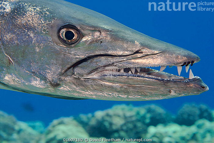 Great barracuda (Sphyraena barracuda) with three parasitic Copepods at end of upper jaw. Hawaii., Animal,Wildlife,Vertebrate,Ray-finned fish,Percomorphi,Barracuda,Great barracuda,Animalia,Animal,Wildlife,Vertebrate,Actinopterygii,Ray-finned fish,Osteichthyes,Bony fish,Fish,Perciformes,Percomorphi,Acanthopteri,Sphyraenidae,Sphyraena,Barracuda,Sphyraena barracuda,Great barracuda,Agrioposphyraena barracuda,Esox barracuda,Sphyraen picuda,Colour,Hawaii,Hawaii Islands,Profile,Side View,Portrait,Animal Eye,Eyes,Mouth,Tropical,Ocean,Pacific Ocean,Marine,Underwater,Water,Mixed species,Saltwater,Sea,Open Mouth,Silver Colour,Hawai&#39,i,Freshwater,, catalogue11, David Fleetham