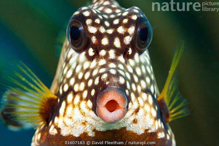 Smooth trunkfish (Lactophrys triqueter), portrait. Bonaire, Dutch Caribbean., Animal,Wildlife,Vertebrate,Ray-finned fish,Plectognathi,Smooth trunkfish,Animalia,Animal,Wildlife,Vertebrate,Actinopterygii,Ray-finned fish,Osteichthyes,Bony fish,Fish,Tetraodontiformes,Plectognathi,Ostraciidae,Rhinesomus,Rhinesomus triqueter,Smooth trunkfish,Ostracion triqueter,Lactophrys triqueter,Blowing A Kiss,Surprise,Pattern,Spotted,Facial Expression,Puckering lips,The Caribbean,Caribbean,West Indies,Front View,Portrait,Animal Eye,Eyes,Mouth,Tropical,Ocean,Caribbean Sea,Marine,Underwater,Water,Saltwater,Sea,Biodiversity hotspots,Direct Gaze,Open Mouth,Marine,, catalogue11, David Fleetham