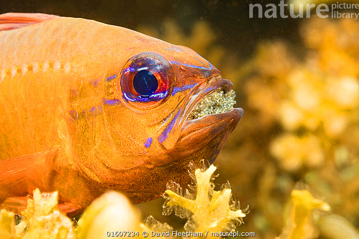Ring-tailed cardinalfish (Ostorhinchus aureus), male protecting and incubating eggs in mouth, Philippines.  ,  Animal,Wildlife,Vertebrate,Ray-finned fish,Percomorphi,Cardinalfish,Ring-tailed cardinalfish,Animalia,Animal,Wildlife,Vertebrate,Actinopterygii,Ray-finned fish,Osteichthyes,Bony fish,Fish,Perciformes,Percomorphi,Acanthopteri,Apogonidae,Cardinalfish,Pattern,Stripes,Asia,South East Asia,Republic of the Philippines,Profile,Side View,Portrait,Male Animal,Animal Eggs,Egg,Eggs,Animal Eye,Eyes,Tropical,Ocean,Pacific Ocean,Marine,Underwater,Water,Animal Behaviour,Brooding,Parental behaviour,Behaviour,Saltwater,Sea,Biodiversity hotspots,Biodiversity hotspot,Incubating,Parental,Philippines,Behavioural,Ostorhinchus,Ostorhinchus aureus,Ring-tailed cardinalfish,,, catalogue11  ,  David Fleetham