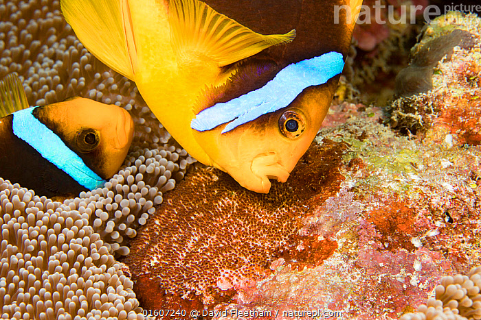 Clark's anemonefish (Amphiprion clarkii), pair tending to egg mass placed beside the protection of an anemone. Yap, Micronesia., Animal,Wildlife,Cnidarian,Anthrozoan,Sea anemone,Vertebrate,Ray-finned fish,Percomorphi,Damselfish,Clownfish,Clark&#39,s anemonefish,Animalia,Animal,Wildlife,Cnidaria,Cnidarian,Coelentrerata,Anthozoa,Anthrozoan,Actiniaria,Sea anemone,Vertebrate,Actinopterygii,Ray-finned fish,Osteichthyes,Bony fish,Fish,Perciformes,Percomorphi,Acanthopteri,Pomacentridae,Damselfish,Dameselfishes,Amphiprion,Clownfish,Anemonefish,Clown fish,Anenome fish,Amphiprion clarkii,Symbiotic Relationship,Protection,Two,Pattern,Stripes,Oceania,Micronesia,Federated States of Micronesia,Micronesia,Animal Eggs,Egg,Eggs,Mouth,Tropical,Seabed,Ocean,Pacific Ocean,Marine,Underwater,Water,Animal Behaviour,Parental behaviour,Male female pair,Mixed species,Behaviour,Saltwater,Sea,Biodiversity hotspots,Biodiversity hotspot,Parental,Two animals,Open Mouth,Protector,Clark&#39,s anemonefish,Tending,Behavioural,Yap,Wa'ab,Invertebrate,Invertebrates,Marine,, catalogue11, David Fleetham