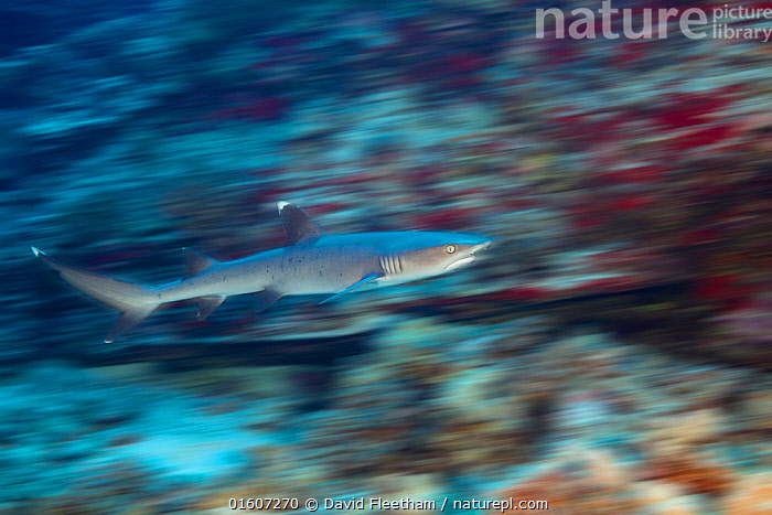 Whitetip reef shark (Triaenodon obesus), motion blurred image. Hawaii., Animal,Wildlife,Vertebrate,Cartilaginous fish,Ground shark,Requiem sharks,Whitetip reef shark,Animalia,Animal,Wildlife,Vertebrate,Chondrichthyes,Cartilaginous fish,Jawed fish,Carcharhiniformes,Ground shark,Carcharhinidae,Requiem sharks,Triaenodon,Whitetip reef shark,Triaenodon obesus,Carcharias obesus,Triaenodon apicalis,Trianodon obesus,Swimming,Motion,Hawaii,Hawaii Islands,Profile,Side View,Photographic Effect,Blurred Motion,Blurred Movement,Tropical,Seabed,Ocean,Pacific Ocean,Predator,Marine,Water,Animal Behaviour,Predation,Behaviour,Saltwater,Sea,Shark,Predatory,Behavioural,Hawai&#39,i,Marine, David Fleetham