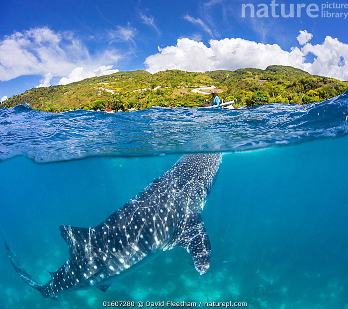 Whale shark (Rhincodon typus), a commercial encounter for tourists with feeder above on canoe. Oslob, Cebu, Philippines. April 2017.  ,  Animal,Wildlife,Vertebrate,Cartilaginous fish,Carpet shark,Whale sharks,Whale shark,Animalia,Animal,Wildlife,Vertebrate,Chondrichthyes,Cartilaginous fish,Jawed fish,Orectolobiformes,Carpet shark,Rhincodontidae,Whale sharks,Rhincodon,Rhincodon typus,Whale shark,Micristodus punctatus,Rhiniodon typus,Rhinodon typicus,People,Man,Pattern,Spotted,Asia,South East Asia,Republic of the Philippines,Copy Space,Side View,Tropical,Ocean,Pacific Ocean,Travel,Tourism,Coast,Marine,Coastal waters,Split level,Coastal,Water,Feeding,Forest,Saltwater,Sea,Biodiversity hotspots,Biodiversity hotspot,Philippines,Shark,Negative space,Sulu Sea,Bohol Sea,Cebu,Oslob,Endangered species,threatened,Vulnerable,Marine,, catalogue11  ,  David Fleetham