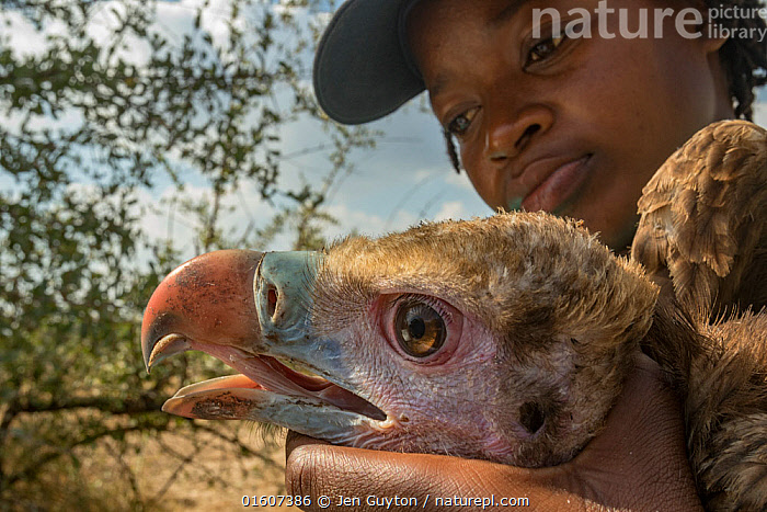 Young Mozambican biologist Diolinda Mundoza admires a young white-headed vulture (Trigonoceps occipitalis) as she prepares to release it. Gorongosa National Park, Mozambique.  ,  Animal,Wildlife,Vertebrate,Bird,Birds,Vulture,White headed vulture,Animalia,Animal,Wildlife,Vertebrate,Aves,Bird,Birds,Accipitriformes,Accipitridae,Trigonoceps,Vulture,Old world vulture,Trigonoceps occipitalis,White headed vulture,People,Scientist,Scientists,Africa,Southern Africa,Mozambique,Republic of Mozambique,Close Up,Portrait,Beak,Conservation,Wildlife conservation,Mozambican,Researcher,Gorongosa National Park,Endangered species,threatened,Vulnerable  ,  Jen Guyton