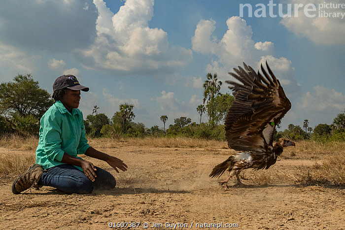 Young Mozambican biologist Diolinda Mundoza releasing a white-headed vulture (Trigonoceps occipitalis), Gorongosa National Park, Mozambique.  ,  Animal,Wildlife,Vertebrate,Bird,Birds,Vulture,White headed vulture,Animalia,Animal,Wildlife,Vertebrate,Aves,Bird,Birds,Accipitriformes,Accipitridae,Trigonoceps,Vulture,Old world vulture,Trigonoceps occipitalis,White headed vulture,Releasing,Taking Off,People,Scientist,Scientists,Research,Researching,Africa,Southern Africa,Mozambique,Republic of Mozambique,Conservation,Wildlife conservation,Mozambican,Researcher,Gorongosa National Park,Endangered species,threatened,Vulnerable  ,  Jen Guyton
