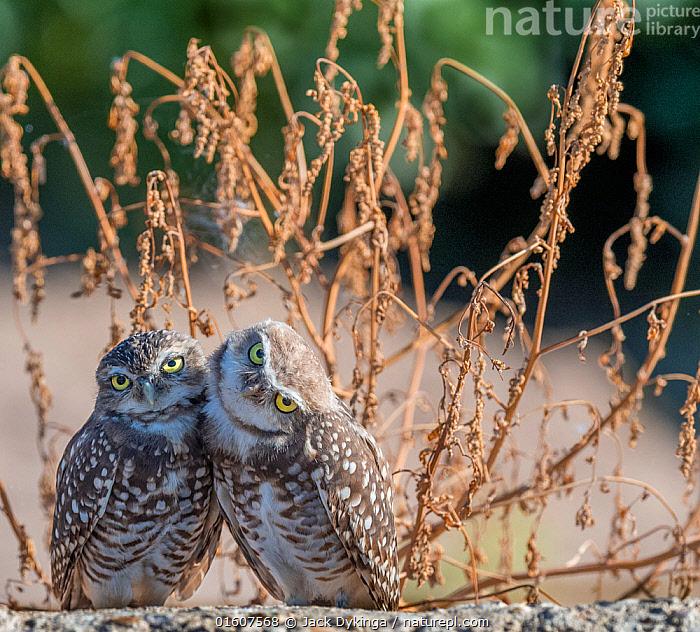 Burrowing owl (Athene cunicularia), two huddled together. Marana, Pima County, Arizona, USA., Animal,Wildlife,Vertebrate,Bird,Birds,Owl,Burrowing owl,American,Animalia,Animal,Wildlife,Vertebrate,Aves,Bird,Birds,Strigiformes,Owl,Bird of prey,Strigidae,Striginae,Athene,Athene cunicularia,Burrowing owl,Leaning,Lean,Sitting,Cute,Adorable,Side By Side,Two,Affectionate,Affection,Hugging,North America,USA,Western USA,Southwest USA,Arizona,Front View,Direct Gaze,American,United States of America,Marana,,, catalogue11, Jack Dykinga