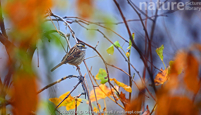 White crowned sparrow (Zonotrichia leucophrys) in Smoky Mountains, Tennessee, USA. November.  ,  Animal,Wildlife,Vertebrate,Bird,Birds,Songbird,Bunting,White crowned sparrow,American,Animalia,Animal,Wildlife,Vertebrate,Aves,Bird,Birds,Passeriformes,Songbird,Passerine,Emberizidae,Bunting,New world sparrow,Zonotrichia,Zonotrichia leucophrys,White crowned sparrow,Emberiza leucophrys,North America,USA,Southern USA,Southeast USA,Tennessee,Autumn,American,United States of America,  ,  Oliver Hellowell