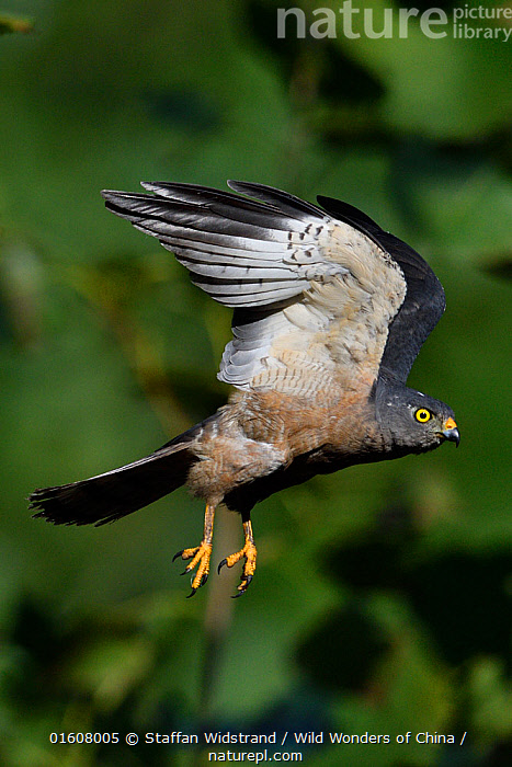 Chinese Sparrowhawk (Accipiter soloensis) flying Guangshui, Hubei province, China. July., Animal,Wildlife,Vertebrate,Bird,Birds,Bird of prey,Grey frog hawk,Animalia,Animal,Wildlife,Vertebrate,Aves,Bird,Birds,Accipitriformes,Accipitridae,Accipiter,Bird of prey,Raptor,Accipiter soloensis,Grey frog hawk,Horsfield&#39,s sparrowhawk,Chinese sparrowhawk,Chinese goshawk,Hawk,Flying,Asia,East Asia,China,Side View,Wing,Wings Up,,, catalogue11, Staffan Widstrand / Wild Wonders of China