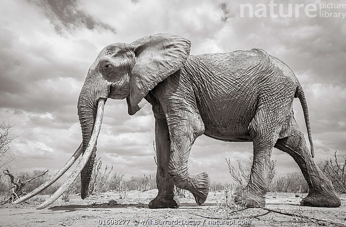 African elephant (Loxodonta africana) female with very large tusks, Tsavo National Park, Kenya.  Highly commended in the GDT European Wildlife Photographer of the Year Awards 2018. Editorial use only. Other uses need clearance.  ,  Animal,Wildlife,Vertebrate,Mammal,Elephant,African elephants,African elephant,Animalia,Animal,Wildlife,Vertebrate,Mammalia,Mammal,Proboscidea,Elephantidae,Elephant,Loxodonta,African elephants,Loxodonta africana,African elephant,Africa,East Africa,Kenya,Profile,B/W,Monochromatic,Side View,Female animal,Tusk,Tusks,Reserve,Competition winner,Protected area,National Park,Photography award,Endangered species,threatened,Endangered  ,  Will Burrard-Lucas