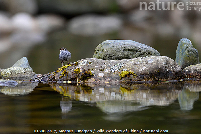 Plumbeous water redstart (Phoenicurus fuliginosus) on a rock in the water, Tangjiahe National Nature Reserve, Sichuan Province, China, Animal,Wildlife,Vertebrate,Bird,Birds,Songbird,Old world flycatcher,Redstart,Plumbeous Water-redstart,Animalia,Animal,Wildlife,Vertebrate,Aves,Bird,Birds,Passeriformes,Songbird,Passerine,Muscicapidae,Old world flycatcher,Flycatcher,Phoenicurus,Redstart,Chat,Chat thrush,Saxicolinae,Asia,East Asia,China,Rock,Flowing Water,River,Freshwater,Water,Reserve,Protected area,Sichuan Province,Sichuan,Phoenicurus fuliginosus,Plumbeous Water-redstart,, Magnus Lundgren / Wild Wonders of China