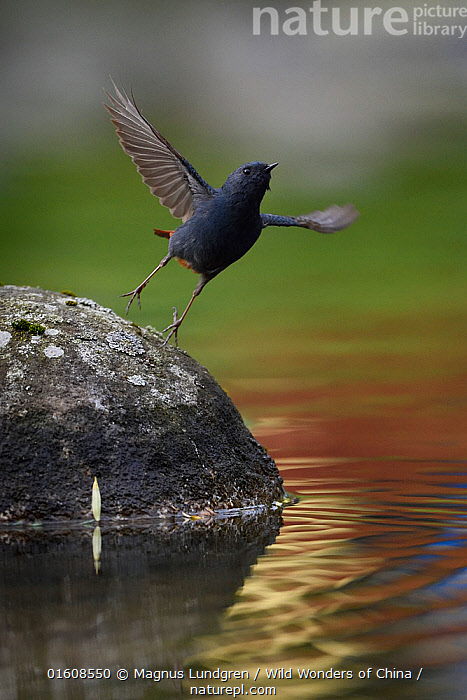 Plumbeous water redstart (Phoenicurus fuliginosus) taking off from a rock in the water, Tangjiahe National Nature Reserve, Sichuan Province, China, Animal,Wildlife,Vertebrate,Bird,Birds,Songbird,Old world flycatcher,Redstart,Plumbeous Water-redstart,Animalia,Animal,Wildlife,Vertebrate,Aves,Bird,Birds,Passeriformes,Songbird,Passerine,Muscicapidae,Old world flycatcher,Flycatcher,Phoenicurus,Redstart,Chat,Chat thrush,Saxicolinae,Taking Off,Grace,Asia,East Asia,China,Wing,Flowing Water,Stream,Streams,Freshwater,Water,Reserve,Protected area,Sichuan Province,Sichuan,Phoenicurus fuliginosus,Plumbeous Water-redstart,, Magnus Lundgren / Wild Wonders of China