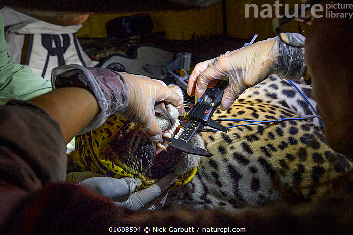 Veterinarian from Project Oncafari measuring teeth and jaw of Jaguar (Panthera onca palustris) female trapped following the death of a Cow. Caiman Lodge, southern Pantanal, Mato Grosso do Sul, Brazil. September 2017., Animal,Wildlife,Vertebrate,Mammal,Carnivore,Cat,Big cat,Jaguar,Pantanal wetlands,Animalia,Animal,Wildlife,Vertebrate,Mammalia,Mammal,Carnivora,Carnivore,Felidae,Cat,Panthera,Big cat,Panthera onca,Jaguar,Measuring,People,Veterinary Surgeon,Research,Researching,Pattern,Spotted,Latin America,South America,Brazil,Hand,Equipment,Measures,Calipers,Calliper,Callipers,Dividers,Science,Conservation,Human-wildlife conflict,Pantanal,Pantanal wetlands,Mato Grosso do Sul,, Nick Garbutt