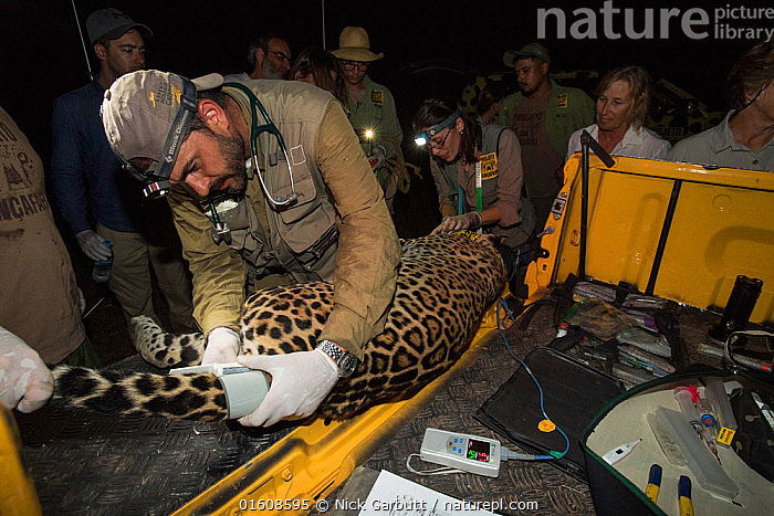 Veterinarian from Project Oncafari taking measurements of Jaguar (Panthera onca palustris) female trapped following the death of a Cow. Caiman Lodge, southern Pantanal, Mato Grosso do Sul, Brazil. September 2017., Animal,Wildlife,Vertebrate,Mammal,Carnivore,Cat,Big cat,Jaguar,Pantanal wetlands,Animalia,Animal,Wildlife,Vertebrate,Mammalia,Mammal,Carnivora,Carnivore,Felidae,Cat,Panthera,Big cat,Panthera onca,Jaguar,Measuring,People,Woman,Man,Veterinary Surgeon,Scientist,Scientists,Research,Researching,Group,Group Of People,Latin America,South America,Brazil,Science,Conservation,Human-wildlife conflict,Pantanal,Pantanal wetlands,Observing,Ranger,Mato Grosso do Sul,Monitoring,, Nick Garbutt