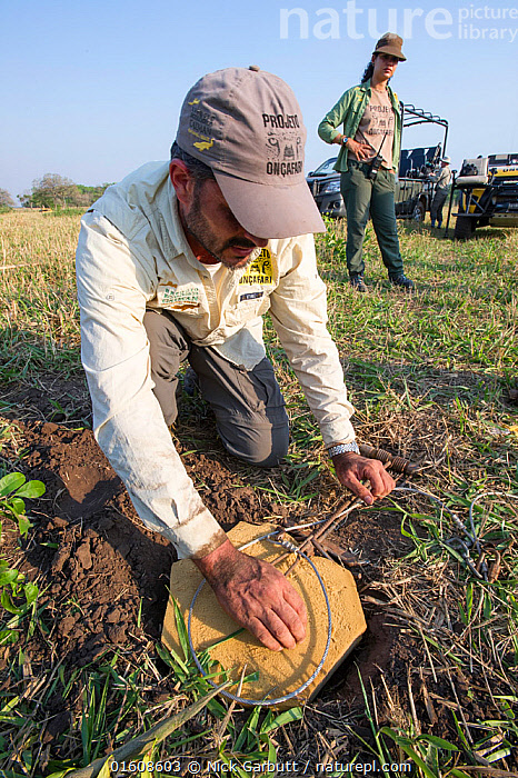 Vet from Project Oncafari testing pad of specially designed Jaguar (Panthera onca palustris) snare trap. Caiman Lodge, southern Pantanal, Mato Grosso do Sul, Brazil. September 2017., Animal,Wildlife,Vertebrate,Mammal,Carnivore,Cat,Big cat,Jaguar,Pantanal wetlands,Animalia,Animal,Wildlife,Vertebrate,Mammalia,Mammal,Carnivora,Carnivore,Felidae,Cat,Panthera,Big cat,Panthera onca,Jaguar,People,Woman,Man,Veterinary Surgeon,Scientist,Scientists,Research,Researching,Two,Latin America,South America,Brazil,Trap,Traps,Clothing,Hat,Hats,Baseball Cap,Baseball Caps,Uniform,Uniforms,Conservation,Pantanal,Pantanal wetlands,Mato Grosso do Sul,, Nick Garbutt