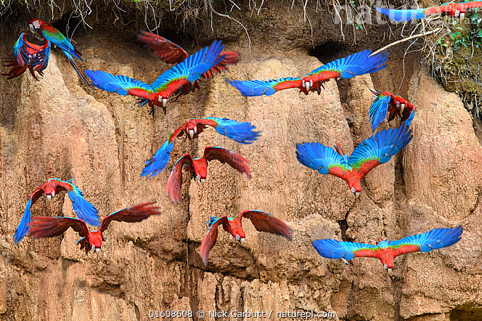 Red-and-green macaw (Ara chloropterus) flock flying in front of clay lick. Heath River, Tambopata / Bahuaja-Sonene Reserves, Amazonia, Peru / Bolivia border., Animal,Wildlife,Vertebrate,Bird,Birds,Parrot,True parrot,Macaw,Green winged macaw,Animalia,Animal,Wildlife,Vertebrate,Aves,Bird,Birds,Psittaciformes,Parrot,Psittacines,Psittacidae,True parrot,Psittacoidea,Ara,Macaw,Neotropical parrots,Arini,Arinae,Ara chloroptera,Green winged macaw,Red and green macaw,Ara chloropterus,Flying,Colour,Blue,Red,Colourful,Group Of Animals,Flock,Group,Latin America,South America,Peru,Bolivia,Wing,Riverbank,Mineral,Minerals,Clay,Flowing Water,River,Freshwater,Water,Habitat,Tambopata National Reserve,Amazon,Clay lick,Bahuaja-Sonene National Park,Bahuaja Sonene National Park,Biodiversity hotspot,, catalogue11, Nick Garbutt