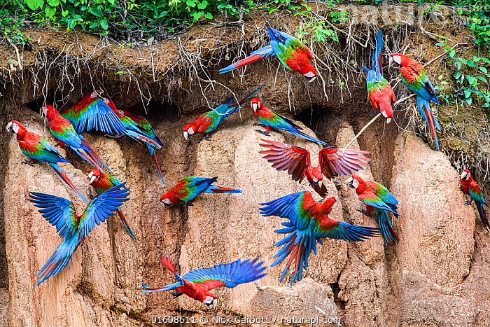 RF - Red-and-green macaw (Ara chloropterus) flock feeding and flying. Wall of clay lick, Heath River, Tambopata / Bahuaja-Sonene Reserves, Amazonia, Peru / Bolivia border. (This image may be licensed either as rights managed or royalty free.), Animal,Wildlife,Vertebrate,Bird,Birds,Parrot,True parrot,Macaw,Green winged macaw,Animalia,Animal,Wildlife,Vertebrate,Aves,Bird,Birds,Psittaciformes,Parrot,Psittacines,Psittacidae,True parrot,Psittacoidea,Ara,Macaw,Neotropical parrots,Arini,Arinae,Ara chloroptera,Green winged macaw,Red and green macaw,Ara chloropterus,Flying,Busy,Colour,Blue,Red,Colourful,Group Of Animals,Flock,Group,Vibrant Colour,Latin America,South America,Peru,Bolivia,Wing,Riverbank,Mineral,Minerals,Clay,Flowing Water,River,Freshwater,Water,Habitat,Feeding,Tambopata National Reserve,Amazon,RF,Royalty free,Clay lick,RF4,Bahuaja-Sonene National Park,Bahuaja Sonene National Park,Biodiversity hotspot, Nick Garbutt