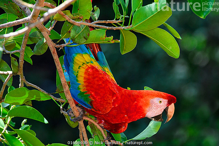 Scarlet macaw (Ara macao) perched on tree in forest canopy. Manu Widllife Center, Manu Biosphere Reserve, Amazonia, Peru.  ,  Animal,Wildlife,Vertebrate,Bird,Birds,Parrot,True parrot,Macaw,Scarlet macaw,Animalia,Animal,Wildlife,Vertebrate,Aves,Bird,Birds,Psittaciformes,Parrot,Psittacines,Psittacidae,True parrot,Psittacoidea,Ara,Macaw,Neotropical parrots,Arini,Arinae,Ara macao,Scarlet macaw,Colour,Red,Colourful,Latin America,South America,Peru,Profile,Side View,Plant,Leaf,Foliage,Tree,Reserve,Protected area,National Park,Manu National Park,Amazon,UNESCO Biosphere Reserve,Manu Biosphere Reserve,  ,  Nick Garbutt