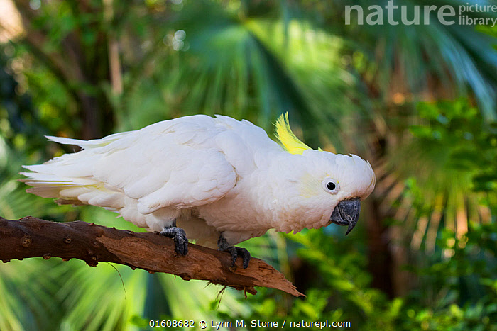 Sulphur-crested cockatoo (Cacatua galerita) perched on branch with palm leaves in background. Captive.  ,  Animal,Wildlife,Vertebrate,Bird,Birds,Parrot,Cockatoo,Cacatuinae,Sulphur crested cockatoo,Animalia,Animal,Wildlife,Vertebrate,Aves,Bird,Birds,Psittaciformes,Parrot,Psittacines,Cacatuidae,Cockatoo,Cacatuoidea,Cacatua,Cacatuinae,Cacatuini,Cacatua galerita,Sulphur crested cockatoo,Greater sulphur crested cockatoo,Preparation,Colour,White,Side View,  ,  Lynn M. Stone