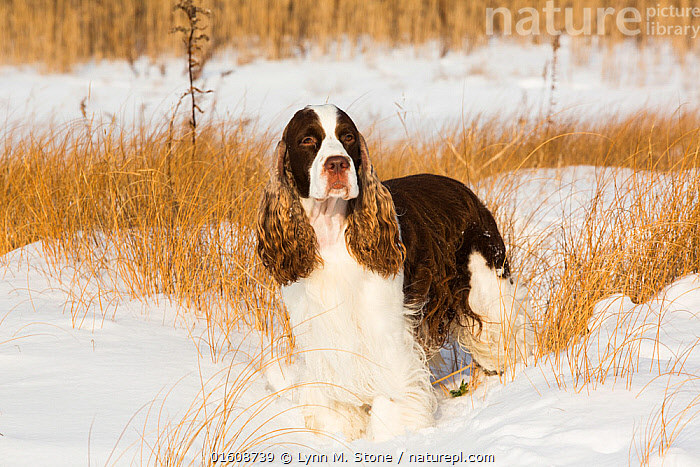 English springer spaniel standing in snow covered grassland, shore of Long Island Sound, Guilford, Connecticut, USA.  ,  Canis familiaris,American,Standing,North America,USA,Eastern USA,New England,Connecticut,Animal,Snow,Winter,Grassland,Domestic animal,Pet,Domestic Dog,Gun dog,Medium dog,English Springer Spaniel,Domesticated,Canis familiaris,Dog,Direct Gaze,Spaniel,American,Mammal,United States of America,Guildford,  ,  Lynn M. Stone