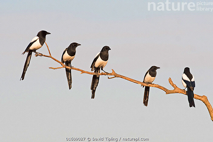 Eurasian magpies (Pica pica) gathering prior to going to roost Hortobagy National Park, Hungary January  ,  hungary,magpie,eurasian magpie,pica pica,bird,crow,corvid,group,flock,gathering,pre-roost,,Animal,Wildlife,Vertebrate,Bird,Birds,Songbird,Eurasian magpie,Animalia,Animal,Wildlife,Vertebrate,Aves,Bird,Birds,Passeriformes,Songbird,Passerine,Corvidae,Corvid,Pica,Pica pica,Eurasian magpie,European magpie,Common magpie,Magpie,Pied magpie,Corvus pica,Roosting,Roost,Group,Medium Group,Europe,Eastern Europe,East Europe,Hungary,Reserve,Protected area,National Park,  ,  David Tipling