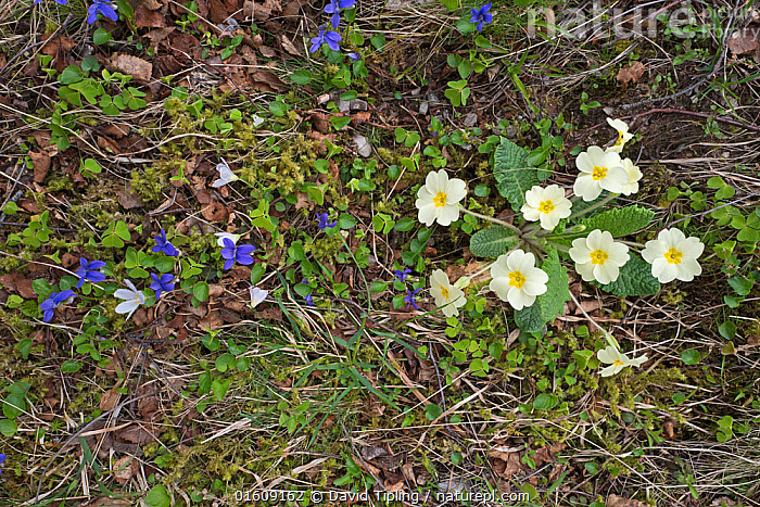 Primroses (Primula vulgaris) and Violet (Viola odorata) growing along banks of mountain stream Caithness, Scotland, UK, May.  ,  Plant,Vascular plant,Flowering plant,Asterid,Primula,Common primrose,Rosid,Violet,Sweet violet,Plantae,Plant,Tracheophyta,Vascular plant,Magnoliopsida,Flowering plant,Angiosperm,Seed plant,Spermatophyte,Spermatophytina,Angiospermae,Ericales,Asterid,Dicot,Dicotyledon,Asteranae,Primulaceae,Primula,Primula vulgaris,Common primrose,English primrose,Primula acaulis,Malpighiales,Rosid,Rosanae,Violaceae,Viola,Violet,Europe,Western Europe,UK,Great Britain,Scotland,Highland,Flower,Highlands of Scotland,Viola odorata,Sweet violet,  ,  David Tipling
